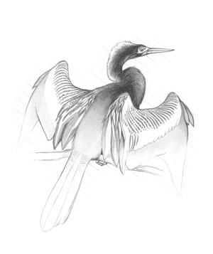 Anhinga (Anhinga anhinga). This bird, also called the snakebird and water turkey, may often be seen pershing with its wings outstretched, possibly trying to dry them.