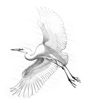 Great Egret (Casmerodius albus) Also known as the common egret and American egret, this bird nests in trees, frequently in mixed colonies that include cormorants and ibis.