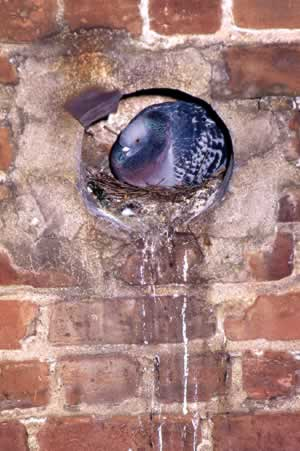 "Due to their gregarious nature and acidic droppings, pigeons have caused structural damage to city structures in some areas. Their droppings have also spread harmful diseases. Some have called pigeons ""Rats with wings."" Photo by Richard T. Bryant. Email richard_t_bryant@mindspring.com."