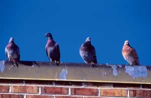 Pigeons survey the urban landscape from a comfortable rooftop perch. Photo by Richard T. Bryant. Email richard_t_bryant@mindspring.com.