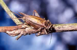 Cricket. Photo by Richard T. Bryant. Email richard_t_bryant@mindspring.com.