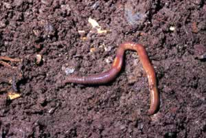 Common earthworm. Photo by Richard T. Bryant. Email richard_t_bryant@mindspring.com.