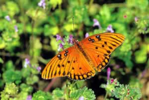 Gulf Fritillary. Photo by Richard T. Bryant. Email richard_t_bryant@mindspring.com.