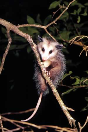 Opossum. Photo by Richard T. Bryant. Email richard_t_bryant@mindspring.com.