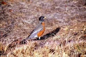 Robin. Photo by Richard T. Bryant. Email richard_t_bryant@mindspring.com.