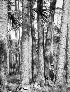 In 1929 this Florida longleaf pine  forest still stood. Longleaf timber production peaked in 1909.