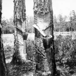 In the early twentieth century, naval stores became  big business. This 1936 photo shows how sap  was extracted from longleaf pines.