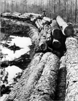 At the end of the nineteenth century, railroad logging penetrated the Southeast, leading to further  elimination of the virgin   longleaf pine backcountry.