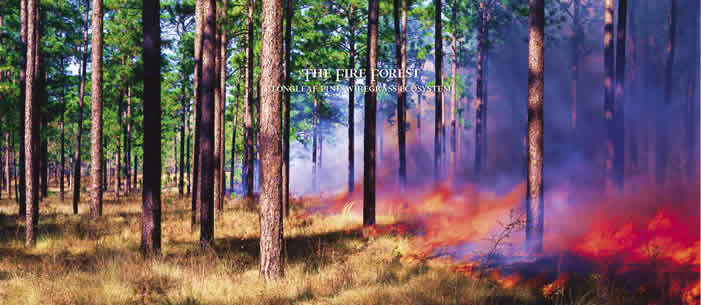 Click to read The Fire Forest: Longleaf Pine-Wiregrass Ecosystem