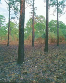Longleaf pine needles decorate the forest floor after a fires. The needles are the longest of all southern pines and are full of resins, which help fuel fire in the forest. Photo by Richard T. Bryant. Email richard_t_bryant@mindspring.com
