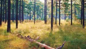 This forest at Greenwood Plantation includes longleaf  pine trees of varying ages including a decaying snag and seedlings in the grass and rocket stages. Photo by Richard T. Bryant. Email richard_t_bryant@mindspring.com