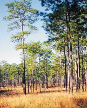 Mature longleaf pines on the Wade Tract. Photo by Richard T. Bryant. Email richard_t_bryant@mindspring.com