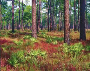 In the old-growth stand at Greenwood Plantation,  over 500 plant species have been documented in the ground cover. Photo by Richard T. Bryant. Email richard_t_bryant@mindspring.com