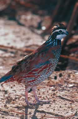 Bobwhite Quail. Photo by Richard T. Bryant. Email richard_t_bryant@mindspring.com