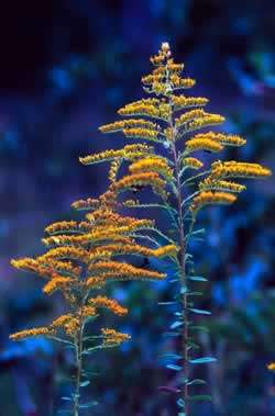 Goldenrod. Photo by Richard T. Bryant. Email richard_t_bryant@mindspring.com