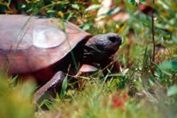 Gopher Tortoise. Photo by Richard T. Bryant. Email richard_t_bryant@mindspring.com