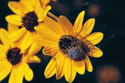 Helianthus angustifolia. Photo by Richard T. Bryant. Email richard_t_bryant@mindspring.com