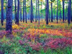 Longleaf Pine-Grassland Ecosystem. Photo by Richard T. Bryant. Email richard_t_bryant@mindspring.com