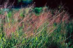 Panic Grass. Photo by Richard T. Bryant. Email richard_t_bryant@mindspring.com