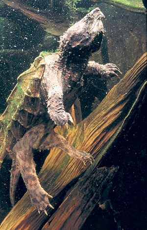 Alligator Snapping Turtle. Alligator Snapping Turtle. Photo by Richard T. Bryant. Email richard_t_bryant@mindspring.com