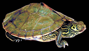 Barbour's Map Turtle. Photo by Richard T. Bryant. Email richard_t_bryant@mindspring.com
