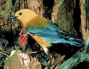 Prothonotary Warbler. Photo courtesy of Cornell Lab of Ornithology. Photo by Frederick Truslow.