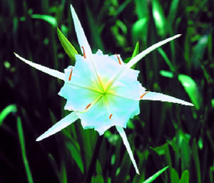 Shoals Spider Lily. Photo by Richard T. Bryant. Email richard_t_bryant@mindspring.com