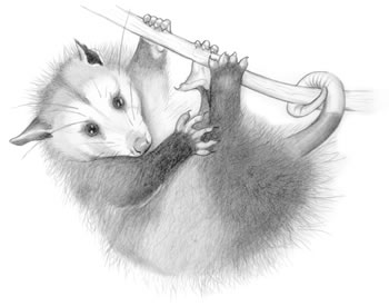 Opossum (Didelphis virginiana) The opossum is North America's only marsupial (pouched animal).