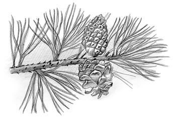 Pitch Pine (Pinus rigida)