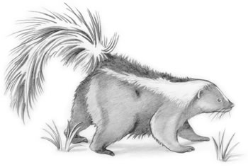 Striped Skunk (Mephitis mephitis) Look for the striped skunk's white facial stripe, neck patch, and V on its back.