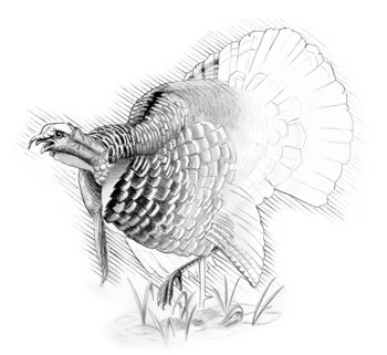 Wild Turkey (Meleagris gallapavo) Turkeys can fly well for short distances but prefer to run.